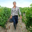 Harvester working in vineyard rows with basket of grapes — Stock Photo