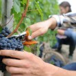 Stock Photo: Closeup on bunch of grapes being picked from row