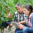 Winemarkers in vine rows checking grapes quality — Stock Photo