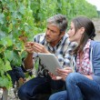Winemarkers in vine rows checking grapes quality — Stock Photo #13930435