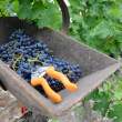 Closeup of harvesting wooden basket with grapes — Stock Photo