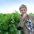 Winemaker standing in vineyard on harvesting season — Stock Photo