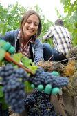 Closeup of woman in vineyard during harvest season — Stock Photo