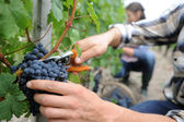 Closeup on bunch of grapes being picked from row — Stock Photo