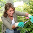 Senior womtaking care of flowers in garden — Stock Photo #13940079