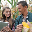 Farmers in cornfield using electronic tablet — Stock Photo