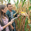 Stock Photo: Farmers in cornfield using electronic tablet