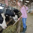 Stockfoto: Smiling breeder woman giving food to cows
