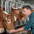 Stock Photo: Closeup on cows being fed by cattleman