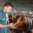 Stock Photo: Cow breeder using touchpad inside barn