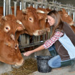 Woman feeding cows inside the barn — Stock fotografie