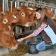 Stock Photo: Womfeeding cows inside barn