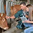 Farmer and veterinarian checking on cows — Foto Stock