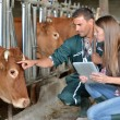 Farmer and veterinarian checking on cows — Stockfoto
