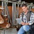 Breeder in cow barn using digital tablet — Foto Stock
