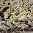 Closeup of baby ducks in farm - Stock Photo