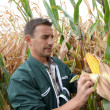 Stockfoto: Farmer checking on corn crops