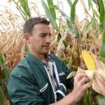 Farmer checking on corn crops — Stock Photo