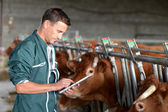 Cow breeder using touchpad inside the barn — Stock Photo