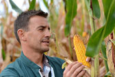 Farmer in field checking on corncobs — Stock Photo