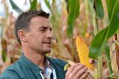 Farmer in field checking on corncobs — Stock Photo
