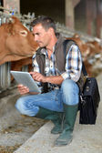 Breeder in cow barn using digital tablet — Stock Photo