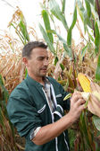 Farmer checking on corn crops — Stockfoto