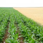 Closeup on corn crops — Stock Photo