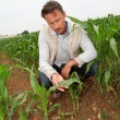 Agronomist looking at corn plant in field - Stock Photo