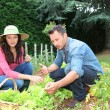 Couple picking lettuces in vegetable garden — Stock Photo