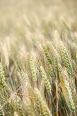 Closeup on wheat ears — Stock Photo