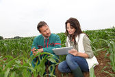 Farmer and researcher analysing corn plant — Stok fotoğraf