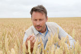 Portrait of agronomist analysing wheat ears — Stok fotoğraf