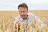 Ziraat mühendisi analizi, mühendislerimizin buğday kulak portresi — Stok fotoğraf