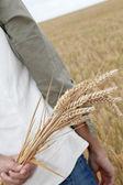 Closeup of hand holding wheat ears — Stock Photo