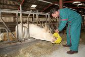 Farmer feeding cows in barn — Stock Photo