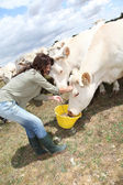 Breeder feeding cows in farmland — Stock Photo