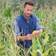 Agronomist analysing cereals in corn field — Stock Photo