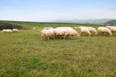 Sheeps in basque country landscape — Stock Photo
