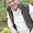 Senior man in kitchen garden picking vegetables — Stock Photo