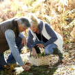 Stock Photo: Senior couple in forest picking mushrooms