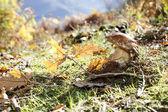 Närbild på karljohanssvamp i skogen marken — Stockfoto