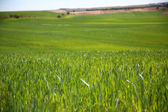 View of wheat field in spring season — Stock Photo