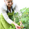 Stock Photo: Woman picking tomatoes