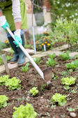 Woman gardening lettuce in kitchen garden — ストック写真