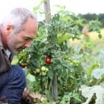 Man in kitchen garden picking vegetables — Stock Photo #35320103