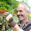 Senior man in garden cutting roses — Stock Photo