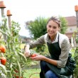 Woman picking tomatoes — Stock Photo #35325919