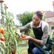 Wompicking tomatoes — Stock Photo #35325945
