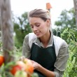 Wompicking tomatoes — Stock Photo #35325963